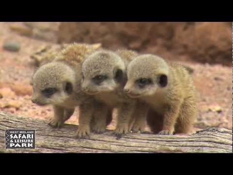 Baby Meerkats at West Midland Safari Park