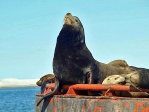 Baja California, leoni marini
