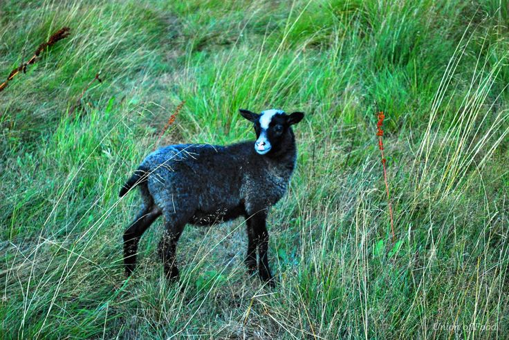 Saaristolammas. Finnish Island beautiful nature and freely roaming sheep. Little lamb more on www.unionoffood.com