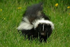 Homemade Skunk Smell Remover. When you own a dog - could need this anytime.