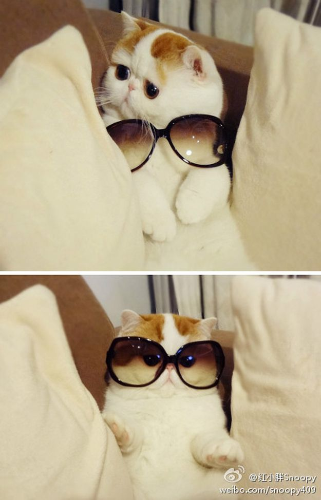 You can't hide the flat face with the sunglasses, kitty.