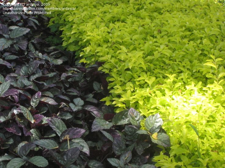Tropical ground cover plants for Ground cover plant with purple flowers