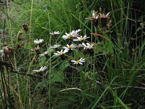 #sanipass white daisy