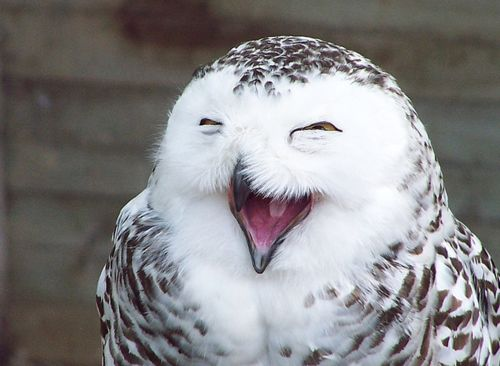 happiest owl i ever did see :): Smile Owl, Happy Owl, High Time, Happyowl, Funny Animal, So Funny, Laughing Owl, Birds, Adorable Animal