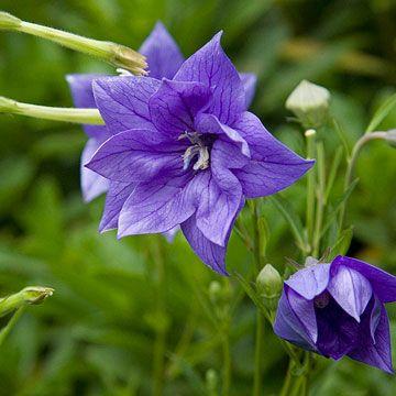 "Balloon flower (Platycodon grandiflorus) 'Hakone Blue,' perennial, blooms in summer, cut/dried flowers, attracts butterflies, tolerates light shade, but not wet feet, sun/part sun, 24"" tall, 18"" wide, possible in zone 9."