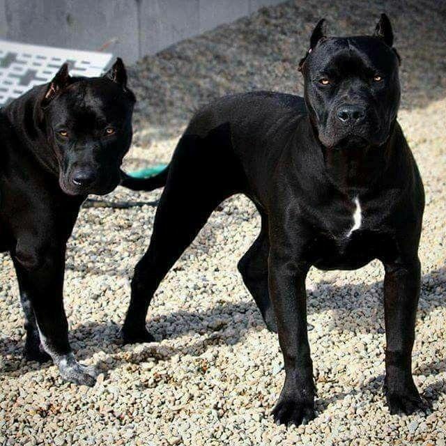 All Black Cane Corso Corso Dog Dogs Pitbull Terrier