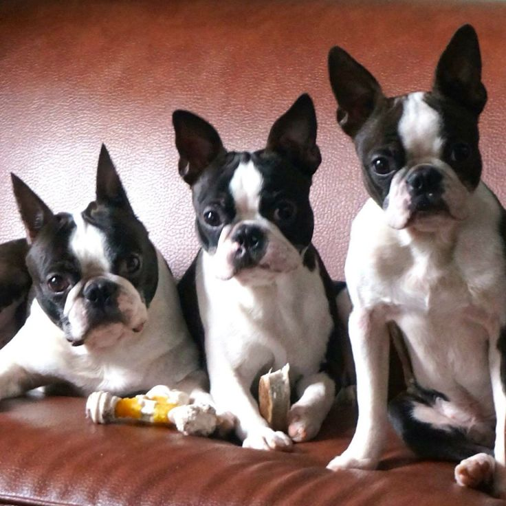 The Heartbeats Gang Boston Terriers, by Victoria Wilt