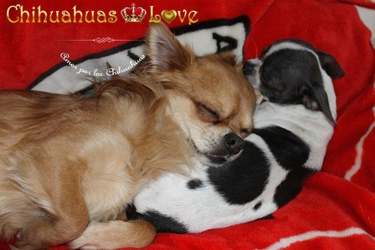 informar clientes chihuahuas love