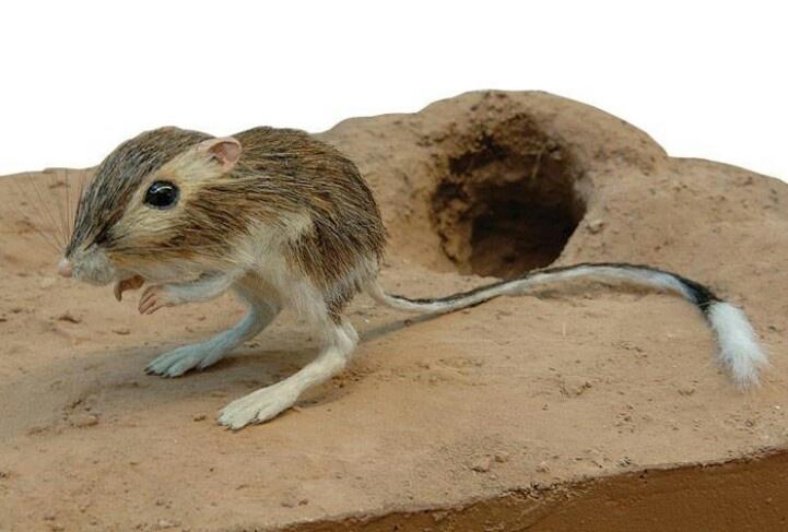 how to draw a kangaroo rat