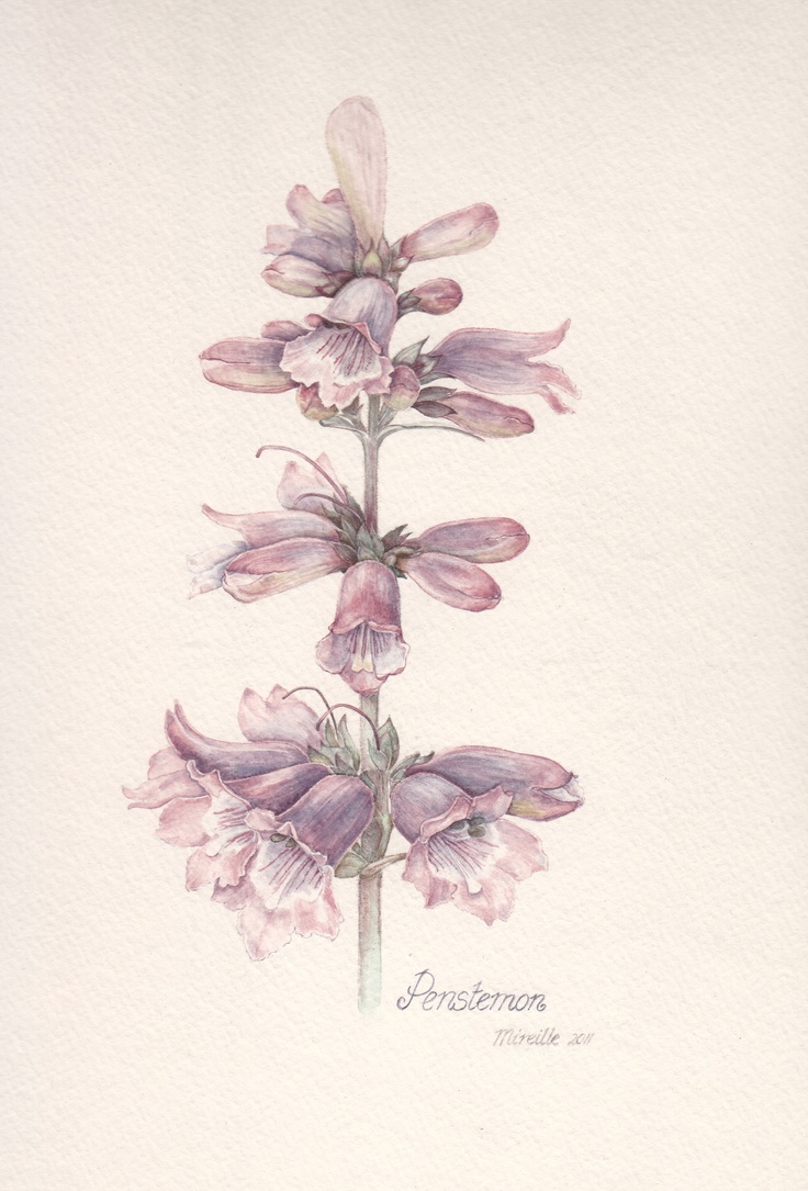 Penstemon, watercolor by Mireille Belajonas, 2011