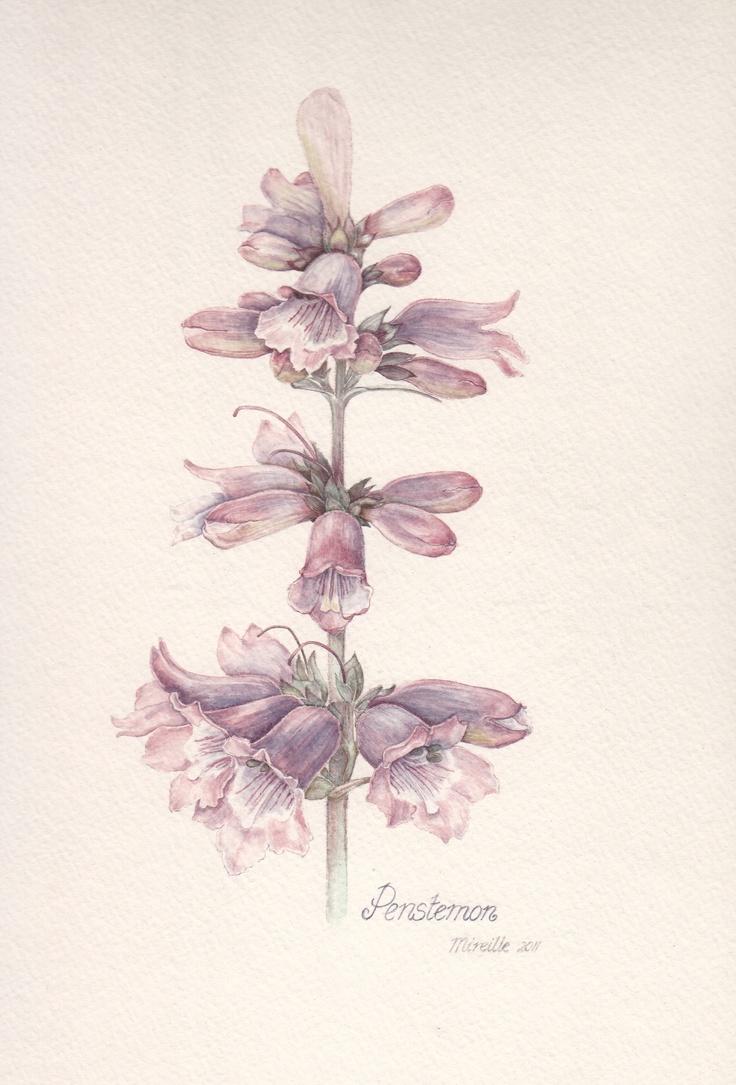 Penstemon, watercolor by Mireille Belajonas, 2011