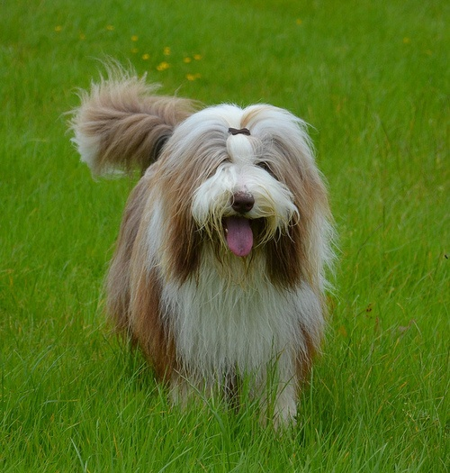 Bearded Collie - this looks just like my beloved Misty, still miss her. Will have another bearded collie one day.