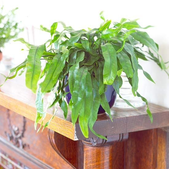 028ebd0fb3030599835606c4d002d4a2--kangaroo-fern-kangaroo-paw Rabbit Foot House Plant on elephant foot house plant, goose foot house plant, rabbit foot fern, rabbit foot green,