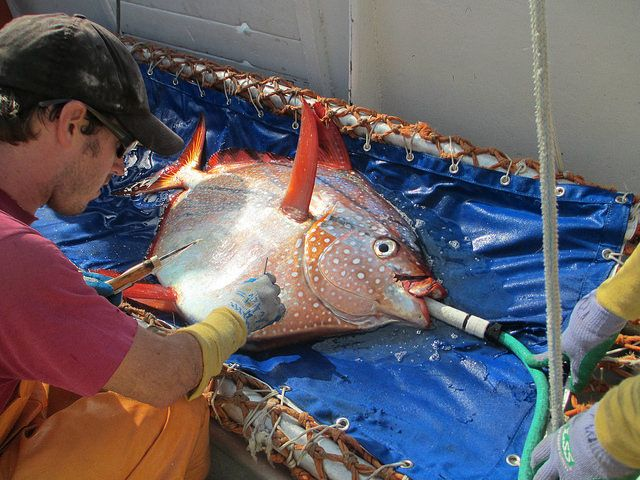 """Meet the first warm-blooded fish called the opah, or moonfish, living up to 305 meters (1,000 ft) under water. Pretty """"cool"""" discovery. - Source: IFLScience"""