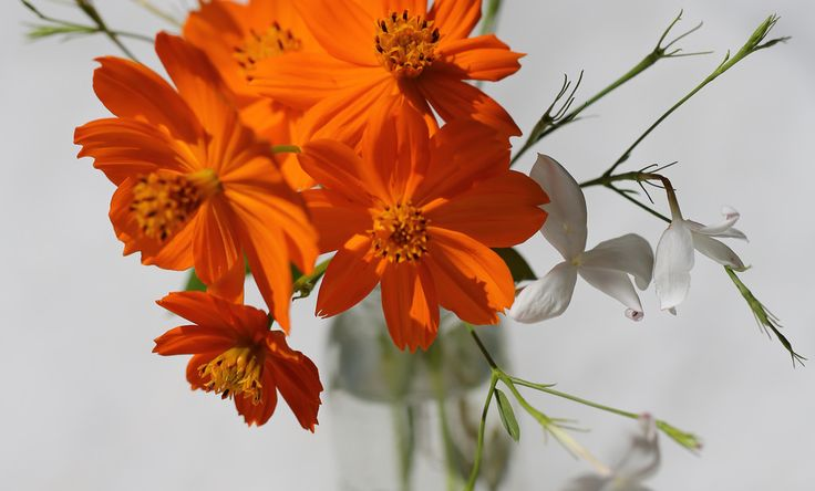 https://flic.kr/p/sx1Ufg | Orange & White | Cosmos & Jasmine