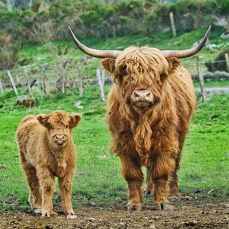 Ecosse Highland bétail -