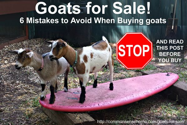 Goats for Sale - 6 Mistakes to Avoid When Buying Goats  PIN https://www.pinterest.com/pin/166562886194702524/