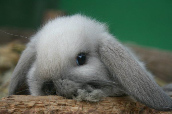 ПРОДАЖА Крольчат/ For Sale - Питомник карликовых кроликов Зайчишка, карликовые кролики, декоративные кролики