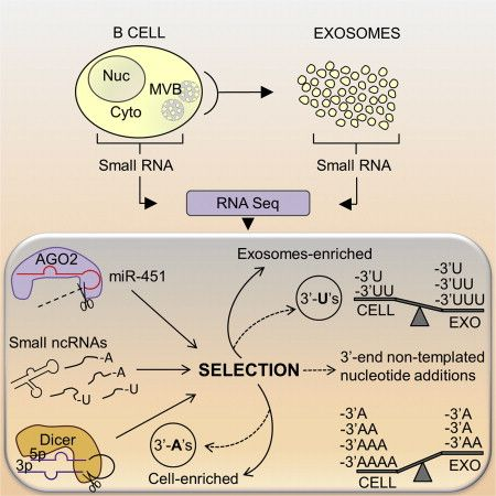 RNA-Seq reveals distinct features of exosomal small RNA - Functional biomolecules, including small noncoding RNAs (ncRNAs), are released and transmitted between mammalian cells via extracellular vesicles (EVs), including endosome-derived exosomes. The small RNA composition in cells differs from exosomes, but underlying mechanisms have not been established. Researchers from the VU University Medical Center generated small RNA profiles by RNA sequencing...