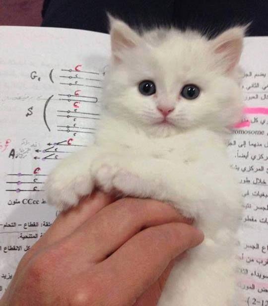 What a sweet little white kitten!                                                                                                                                                                                 More