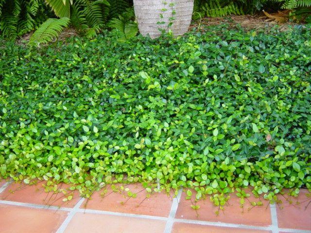 trachelospermum asiaticum 'minima'