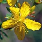 St John's Wort Dosage - What Is The Right Amount? - http://www.healtharticles101.com/st-johns-wort-dosage-what-is-the-right-amount/#more-12090