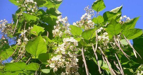 Katalpa czyli surmia to dość popularne drzewo, które coraz częściej można spotkać czy to w ogrodzie czy w mieście. Jak przeczytałam o niej r...