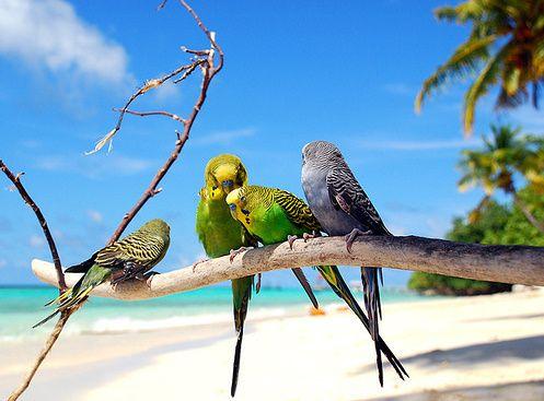 .: Beaches, Parakeets, Animals, Budgies, Nature, Beautiful, At The Beach, Birds