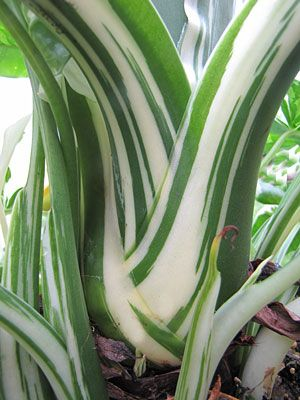 how to cut elephant ear plants for winter