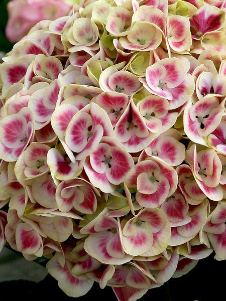 Hydrangea macrophylla Cityline Mars