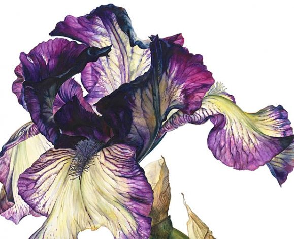 A watercolour painting by Rosy Sanders. This particular artwork is called dancer's veil. I'm really inpired by how close up and detailed the artwork is. The details are very eye catching and look very realistic. I also like the blends of purple and green are used to accentuate the edges and the different dimentions of the flower.