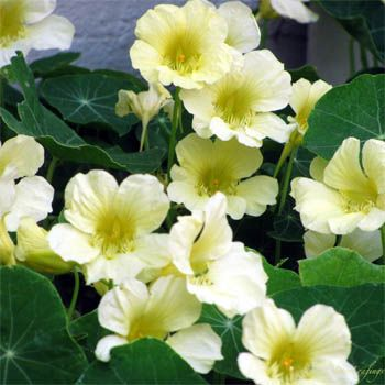 """Moonlight"" nasturtiums  (Tropaeolum Lobbianum Moonlight)"