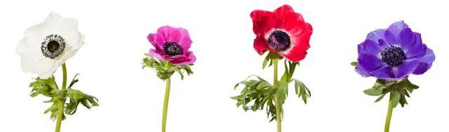 w Polsce są powszechnie znane jako Zawilce. Należy pamiętać że anemony są delikatne i kruche, podobne są do naszych maków. cena w sezonie na giełdzie (styczeń - czerwiec) 1,20zł - 1,45zł/szt. można sprowadzić po wyższej cenie w lipcu, sierpniu, październiku i listopadzie Trwałość: 4-7 dni Dostępność: styczeń - czerwiec   Kolor: występują w naturalnych kolorach takich jak: biały(z czarnym środkiem), różowy, czerwony, niebieski