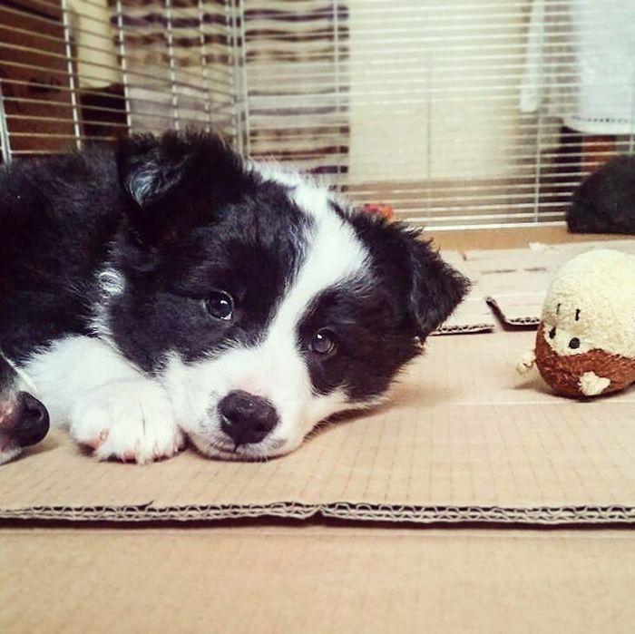 So adorable border collie puppy @yummypets
