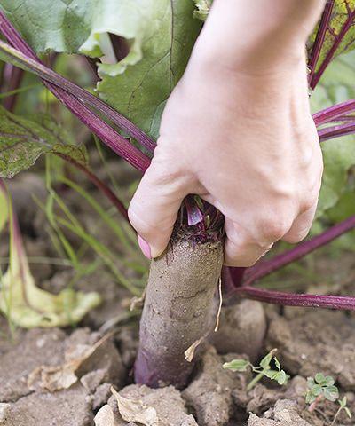 Cvikla je známa aj ako červená repa či repa obyčajná cviklová. Nech už ju doma voláte akokoľvek, je to zelenina plná zdravia. Surová aj spracovaná. Ak vám nechutí jej zemitá príchuť, máte more možností, ako ju dochutiť.