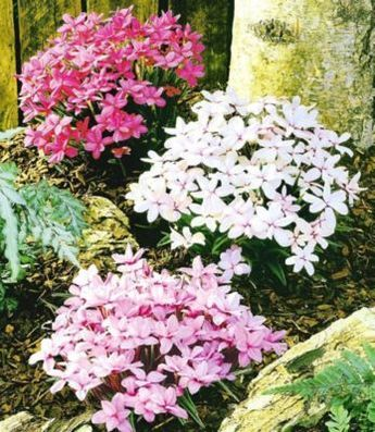 Winterharter Bodendecker Grasstern Twinkle Star®, 3 Pflanzen im Mix | GartenXXL.de