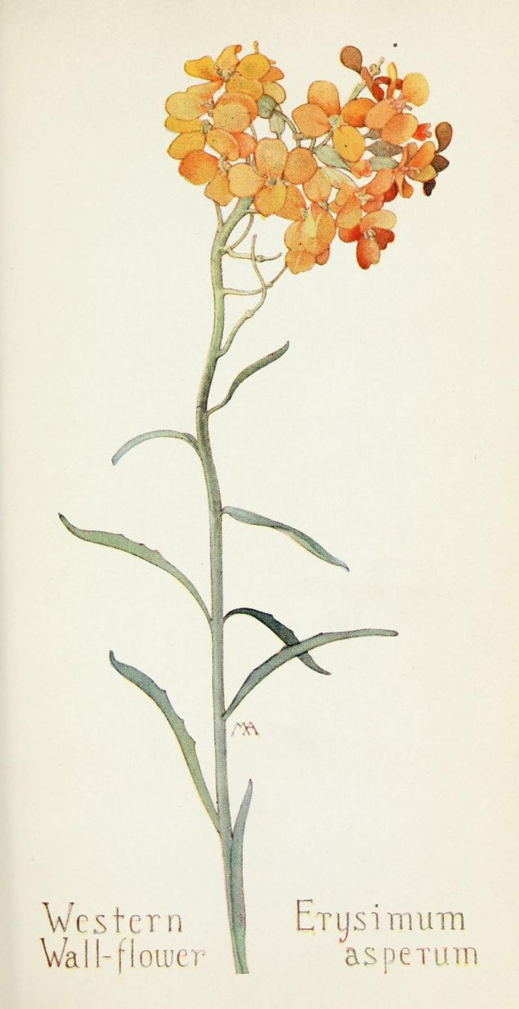 Field book of western wild flowers  by Margaret Armstrong in collaboration with J. J. Thornber ,Published 1915