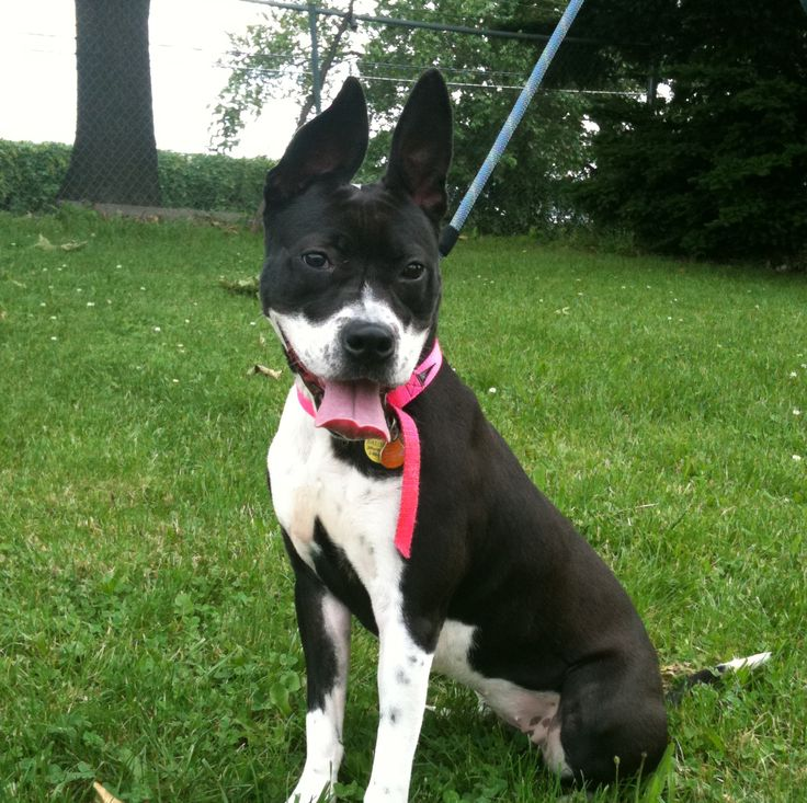 boxer and boston terrier mix 17 best ideas about boston terrier boxer mix on pinterest 8836