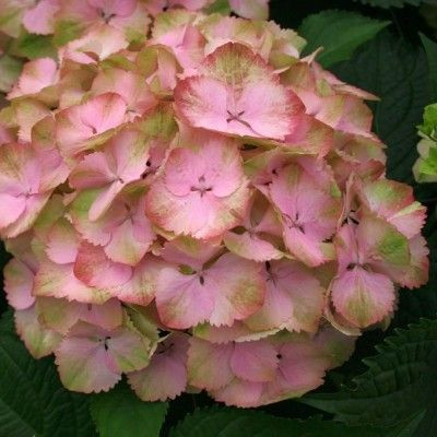 Hydrangea macrophylla 'Magical Harmony'