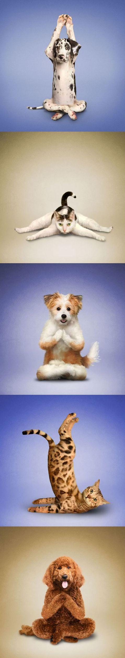 La position du lotus, la posture de l'aigle, des étirements divers et variés... Qui savait les animaux de compagnie aussi flexibles? Evidemment, ces images du photographe Dan Borris sont des montages, mais elles n'en sont pas moins drôles pour autant. L'idée lui est venue lorsqu'une amie lui a demandé de la photographier en pleine séance de yoga pendant que son chien l'embêtait. Cinq ans plus tard, en 2005, ces images figuraient dans un calendrier.