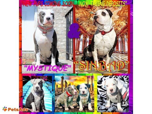 Blue Nose Pitbull Puppies Pitbull Puppies Blue Nose Pitbull Puppies Pitbull Puppies For Sale