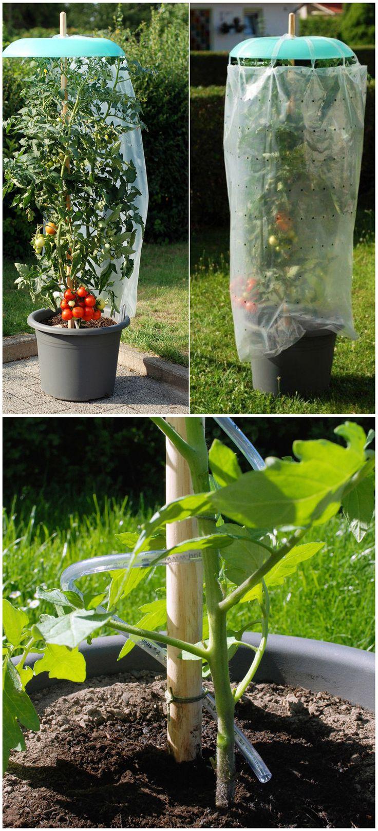 Eine großartige Idee, um Ihre Tomatenpflanzen vor Regen zu schützen! Der dreiteilige Toma …   – Pflanzen