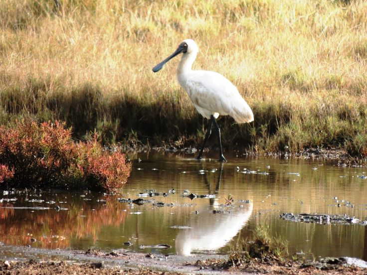 A Royal Spoonbill forages amongst the saltmarsh pools feeding on invertebrates.