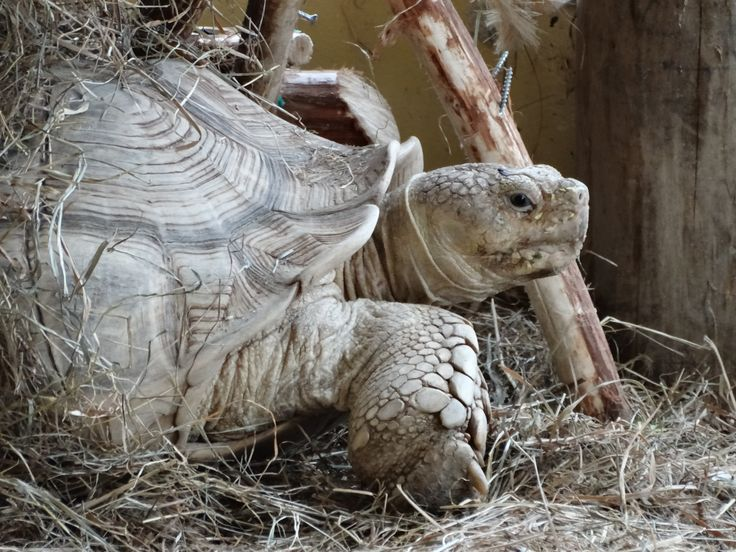 Big land turtle - Wildlands Adventure Zoo Emmen - 04-03-2017 By Tjaard Polet