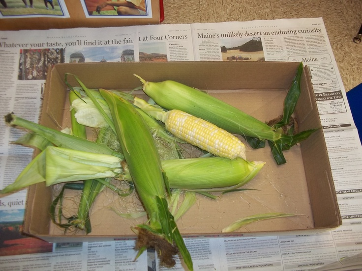 during farm unit, veggie, or fall unit have children shuck corn at sensory table and then cook it for snack time!! Fun and yummy!! My kids thought this was so much fun!