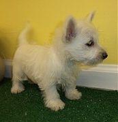 WEstie puppies for Sale in NJ