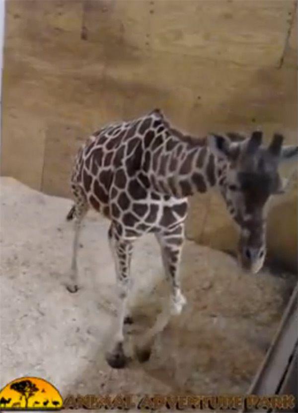 April  Feb 22 2017 http://hollywoodlife.com/pics/april-the-giraffe-pics-photos-new-york-giving-birth/#!1/april-the-giraffe-things-to-know-ftr-2/