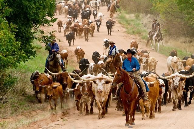 Kansas Cattle Drive: Kansas Cattle, Cattle Drives Y, Longhorns Cattle, 2011 Kansas, Cattle Driving, Driving Cowboys, 2011 Cattle, Cow N Country Girls, Driving Cattle