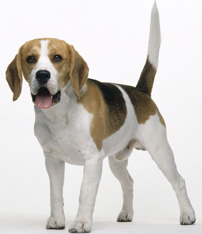 Beagle hound photo | General Description of the Beagle