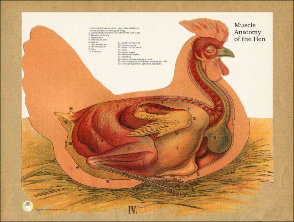 Chicken Muscle Anatomy Poster | Veterinaria | Pinterest